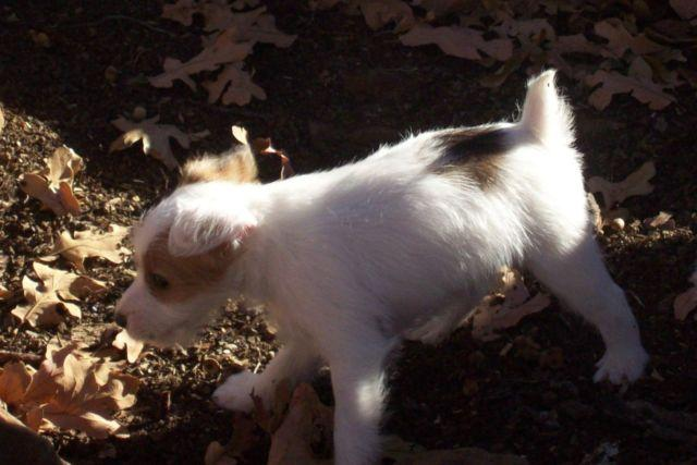 Adorable Female Jack Russell Puppy