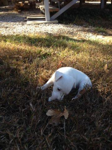 Pure White Jack Russell Terrier