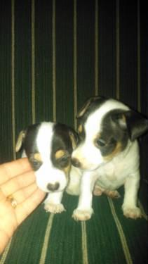 SPECIAL JACK RUSSELL TERRIERS