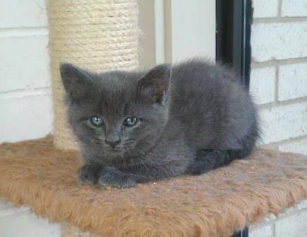 Purebred Pedigreed Russian Blue Kitten For Sale In Sanger Texas Classified Hoodbiz Org