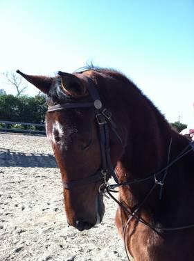 4 year old Registered American Saddlebred mare. Five Gaited.