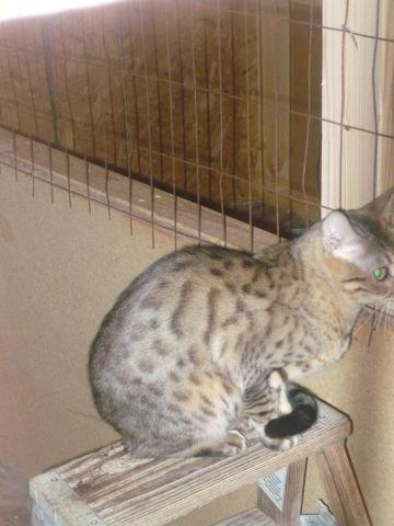 TICA Adult Bengals for Sale- Not Altered