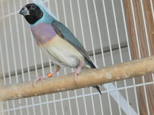 Stacking breeding cages for sale - Canary/Finch