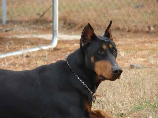 AKC Doberman Puppies For Sale - Ready NOW! for Sale in