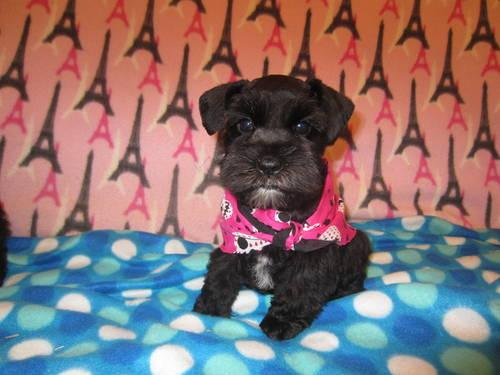 Minature Schnauzer for Sale - Wally