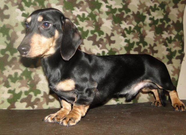 akc dachshund male for sale 1 yr old