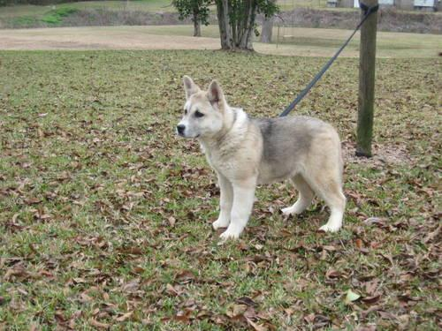 Akita Puppy for sale,20weeks old