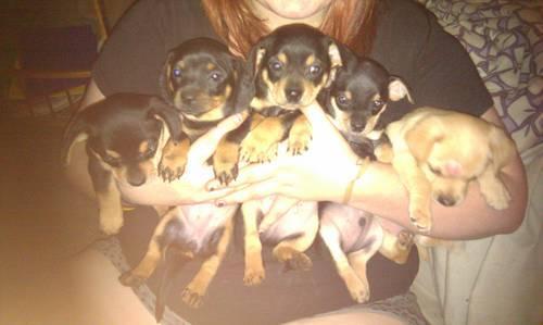 papillion puppy for sale :