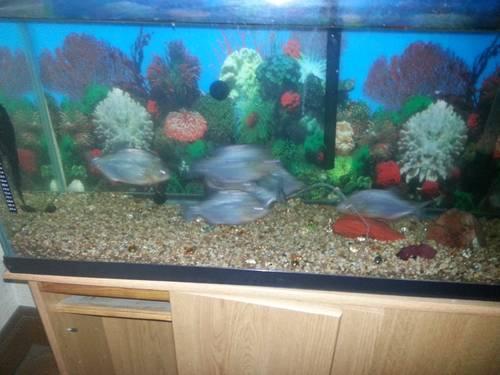 Piranhas 4 sale