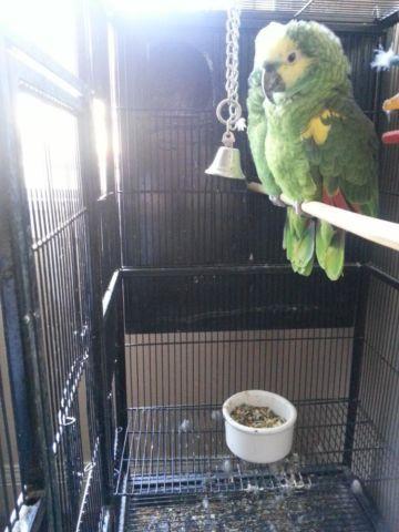 Amazon parrots for sale !
