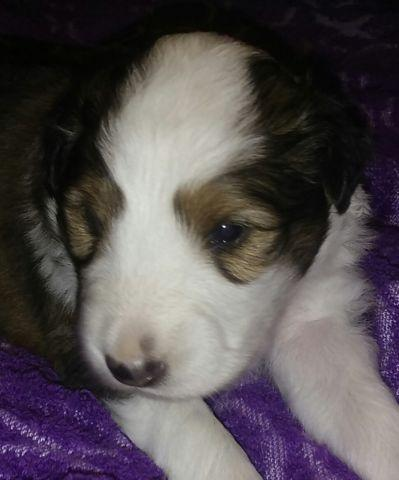 Sheltie Puppies For Sale..3 weeks old