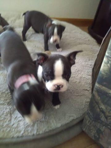 Boston Terrier puppies for sale 9 weeks old