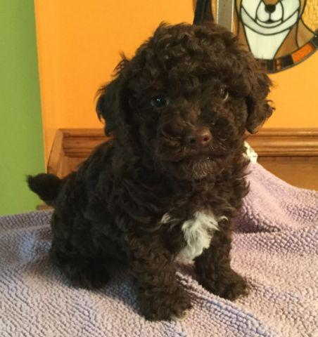 AKC Toy Poodles for sale 9 weeks old