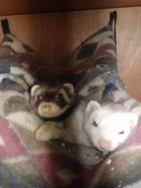Two adorable ferrets for sale!:) Come with everything!