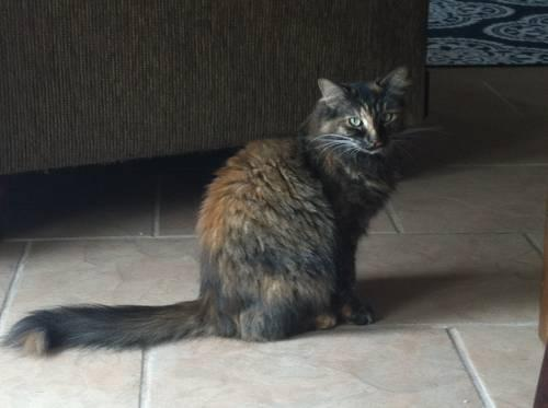 Two Domestic Cats for Sale (Ivy & Darcey)