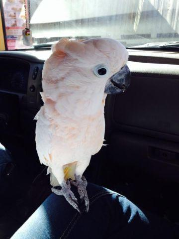 goffin cockatoo for sale or trade for Sale in Dalton