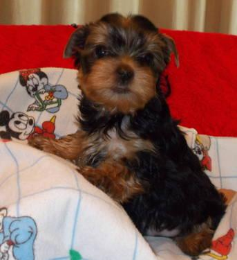 AKC Male Yorkie for Sale Valentine's Day Special
