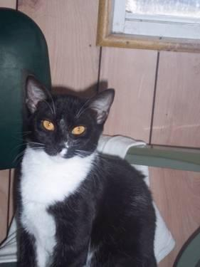 Domestic Short Hair - Black - Samantha - Medium - Senior