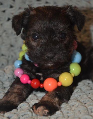 Tiny XS Martini Schnauzer puppy