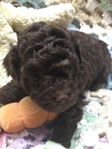 Male Toy Schnauzer Puppy