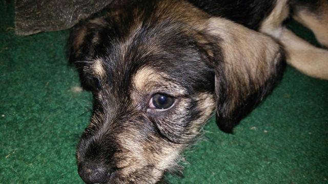9 week old miniature schnazuer/rat terrier puppy