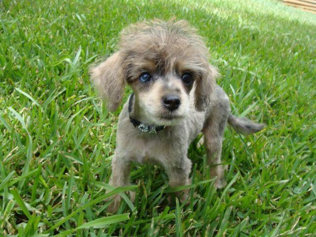 Red Merle Schnoodle