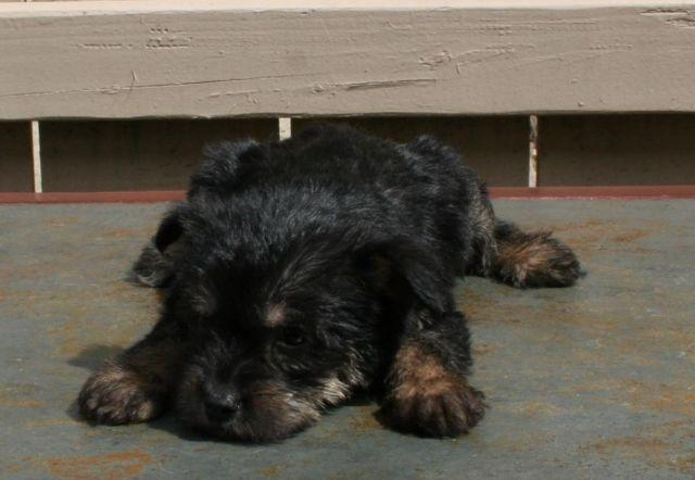 Adorable Miniature Schnoodle Puppies For Sale In Lakeside