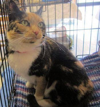Calico - Janell - Medium - Senior - Female - Cat