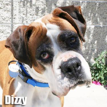 Boxer - Dizzy - Medium - Senior - Female - Dog