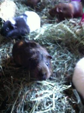 Guinea Pig - Ellen - Small - Senior - Female - Small & Furry