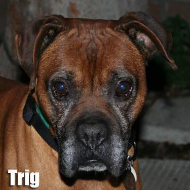 Boxer - Trig - Medium - Senior - Male - Dog