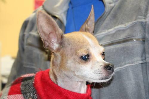 Chihuahua - Levi - Small - Senior - Male - Dog