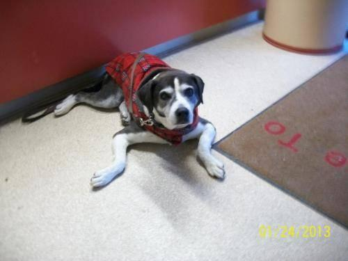Dalmatian - Buster - Large - Senior - Male - Dog
