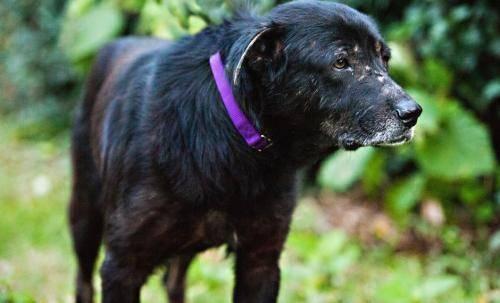 Shepherd - Monty - Large - Senior - Male - Dog