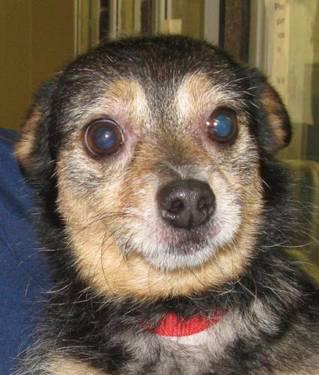 Chihuahua - Minchi - Small - Senior - Male - Dog