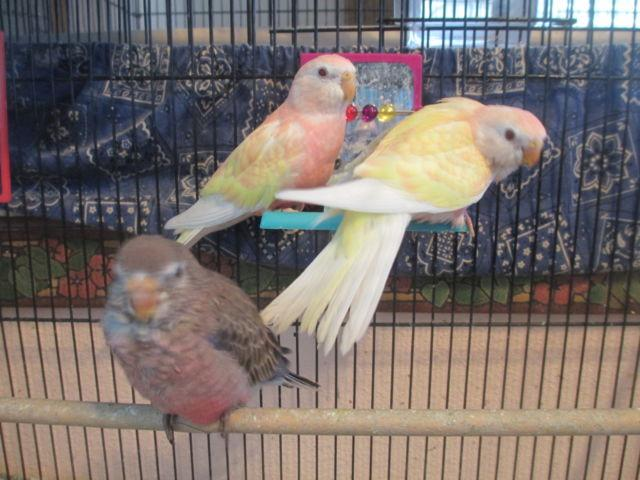 Rosy Bourke Parakeets & Others. Several shades, some hand fed.