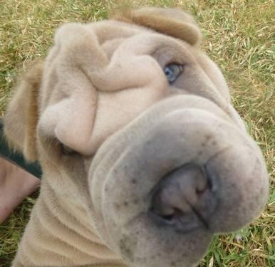 AKC Mini Male Isabella Chinese Shar-pei - Ready for adoption!!!