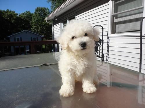 Gorgeous Registered Bichon Frise Puppy, She is 9 weeks old
