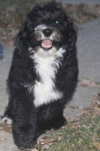 Sheepadoodle Puppies Near Florida