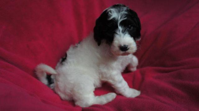 Sheepadoodle Puppies (Old English Sheepdog / Poodle) for Sale in