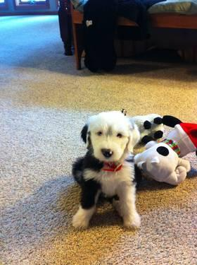 Old English Sheepdog Puppies for Sale in Smithfield