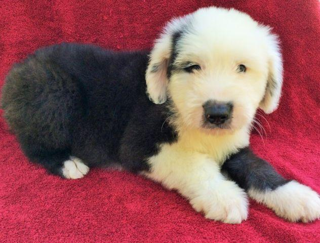 Old English sheepdog puppy for Sale in Happy Valley, Oregon
