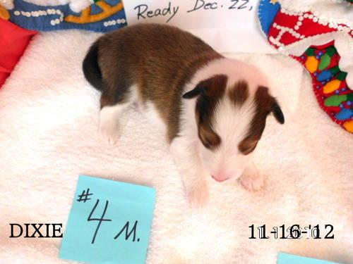 Christmas AKC S&W Sheltie Pups