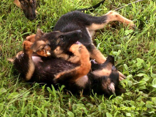 beautiful german shepard puppies-