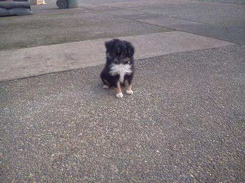 Friendly and lovable Mini Australian Shepherd Puppies - 8 wks