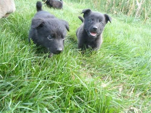 Dutch Type Shepherd Puppies