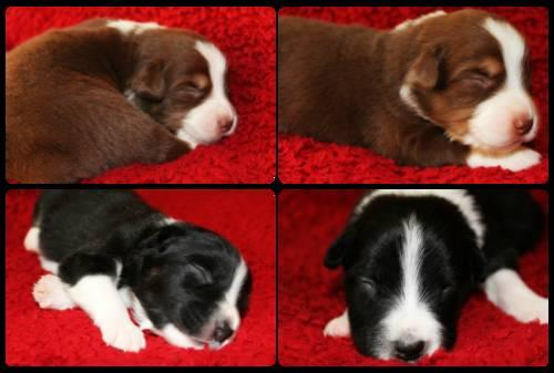 AKC Australian Shepherd Puppies!