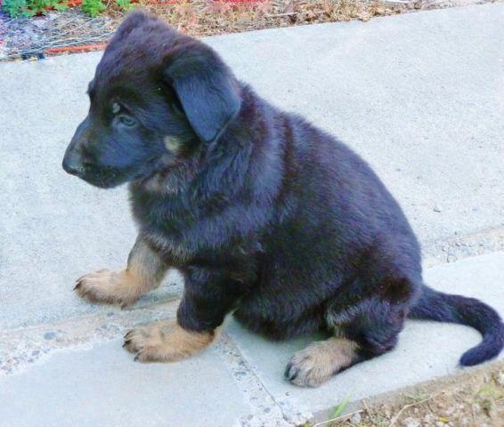 AKC German Shepherd puppies.