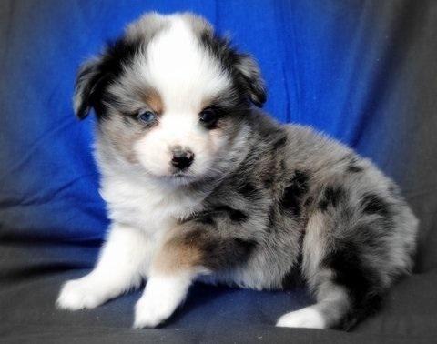 ASDA Toy Australian Shepherd puppies