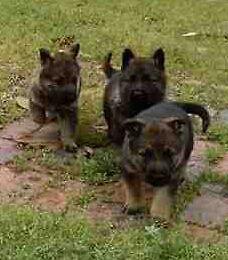 AKC Reg German Shepherd Puppies